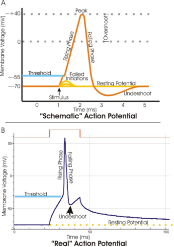 350px-Action_potential_vert.png